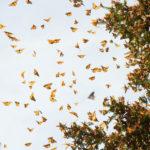 Как бабочкам удается преодолевать большие расстояния