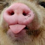 Чем домашняя свинья отличается от дикого кабана