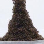 Зачем муравьи строят башни из муравьев