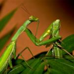 Зачем самка богомола съедает самца