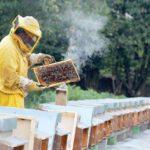Почему дым «успокаивает» пчел
