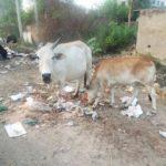 Правда ли, что в Индии нельзя убивать коров
