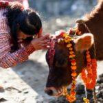 Корова: священное животное ведической культуры